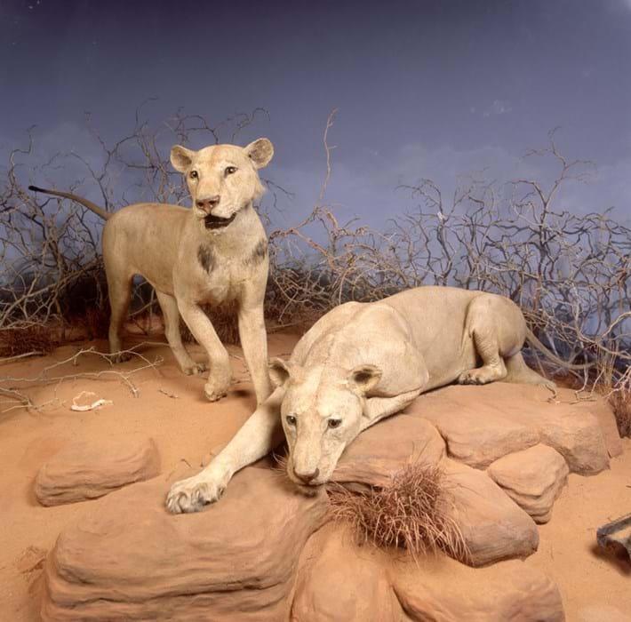 Tsavo_Lions_John_Weinstein_Field_Museum_2017_04_20.jpg