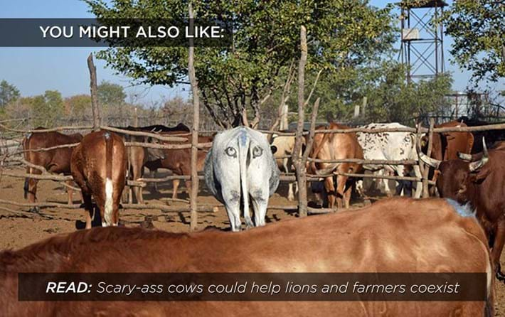 Scary-ass-cow_related_20_04_17.jpg