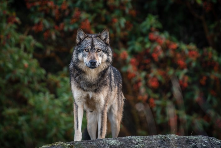 Island wolf_2016_04_24.jpg