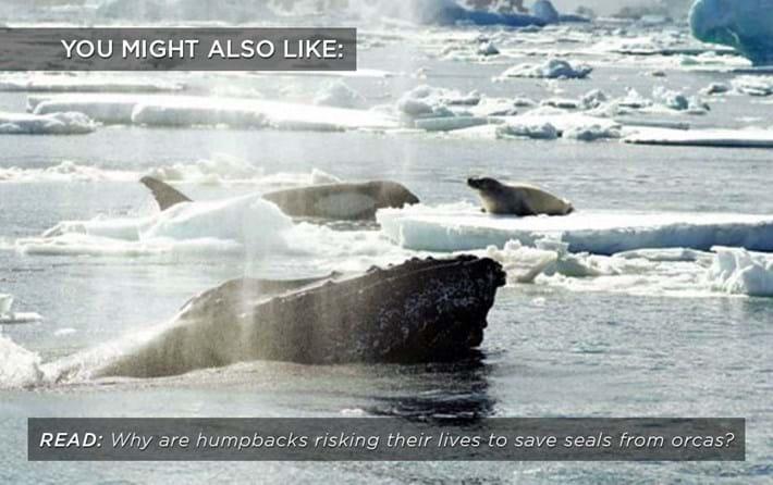 humpback_orcas_related_25_04_17.jpg