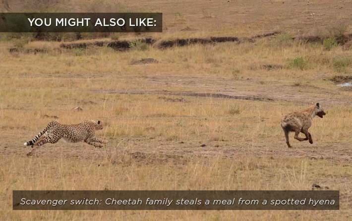 cheetah_hyena_related_26_04_17.jpg