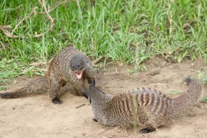 Mongoose_fight_2017_04_28.jpg