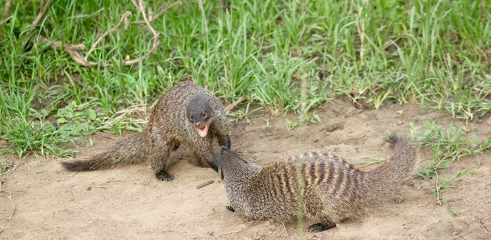 Mongoose_fight_2017_04_28.jpg