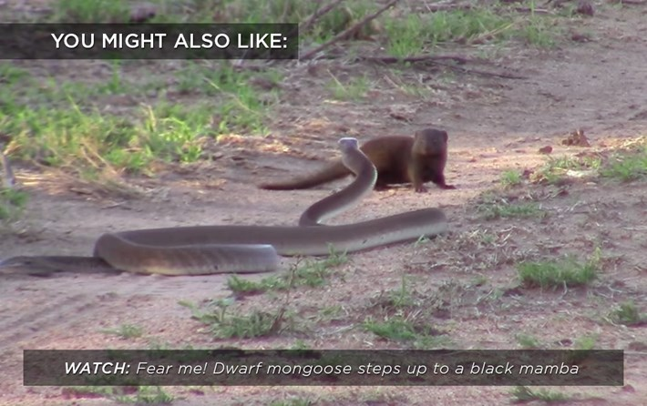 mongoose_mamba_related_28_04_17.jpg
