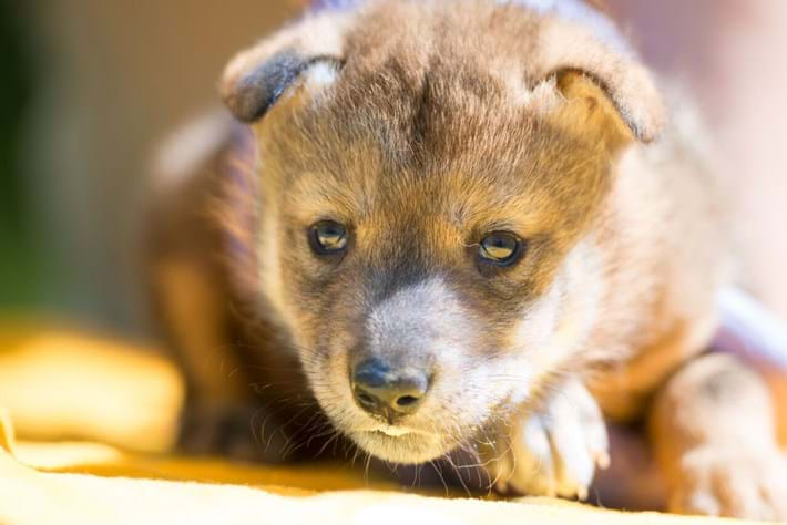 Pupdate: First Mexican wolf born using artificial insemination is doing great