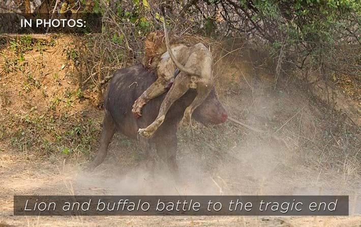 Lion_vs_buffalo_related.jpg