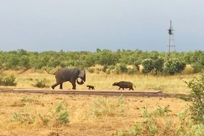 Watch: Bold baby buffalo takes on an elephant ... and wins