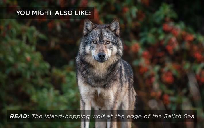 wolf-salish-sea_related_11_05_17.jpg