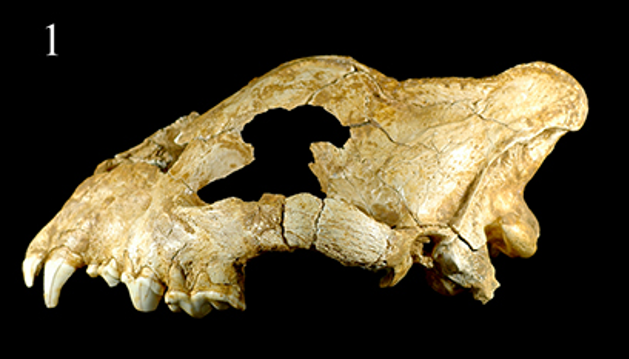 Cave_hyena_skull_2017_5_12.png