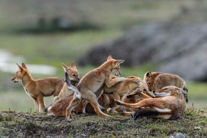 ethopian wolf family_2017_05_12.jpg
