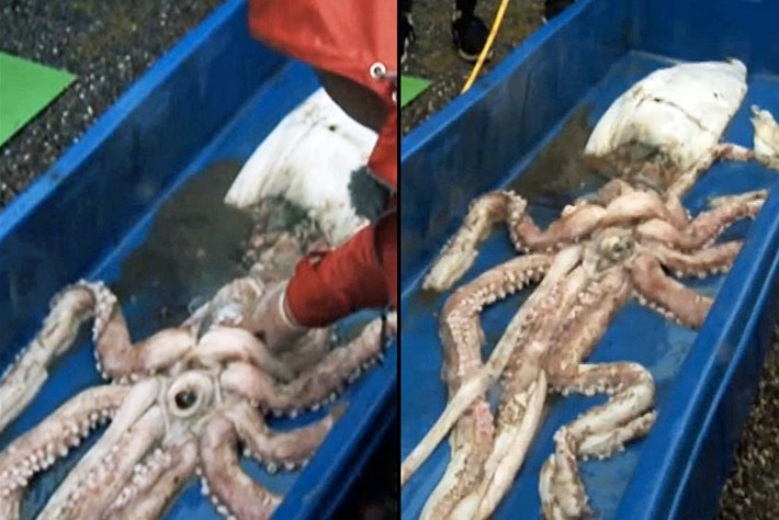 Rare sighting: 19ft giant squid caught in Irish waters