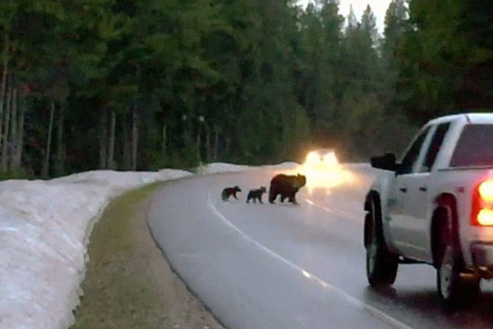 Famous grizzly bear matriarch reappears – with twins! (VIDEO)