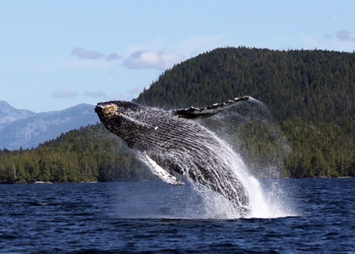 humpback whale1_2017_05_22.jpg