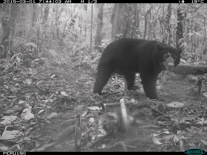 andean-bear-camera-trap_2017_05_23.jpg