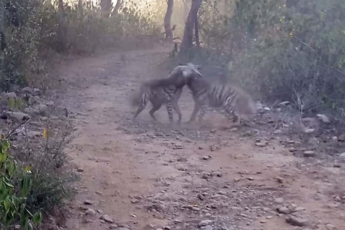 striped_hyena_2017-05-24.jpg