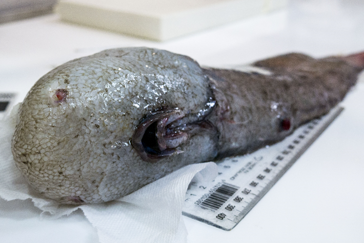 'Faceless' fish hauled up from Australia's uncharted eastern abyss