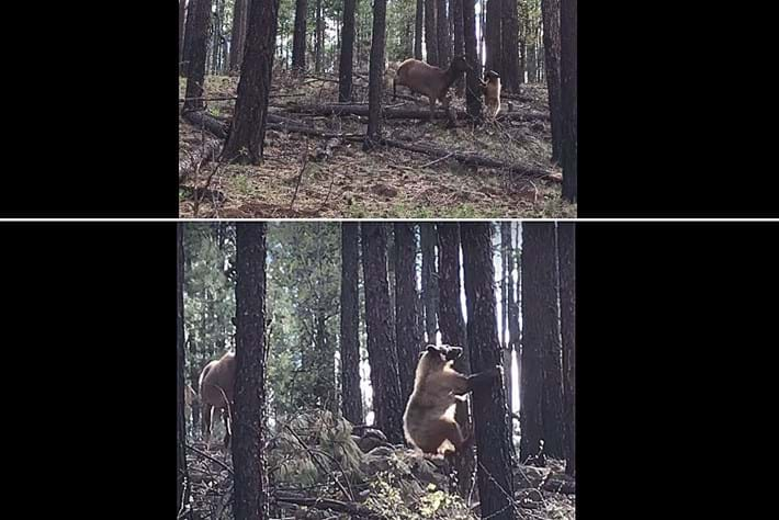 bear-elk-thumb_2017_06_01.jpg