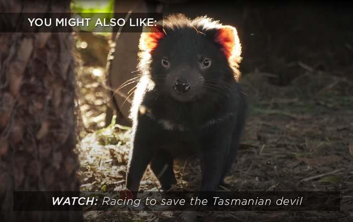 tasmanian-devils_related_02_16_17.jpg