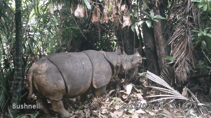 Javan rhino camera trap_2017_06_02.png