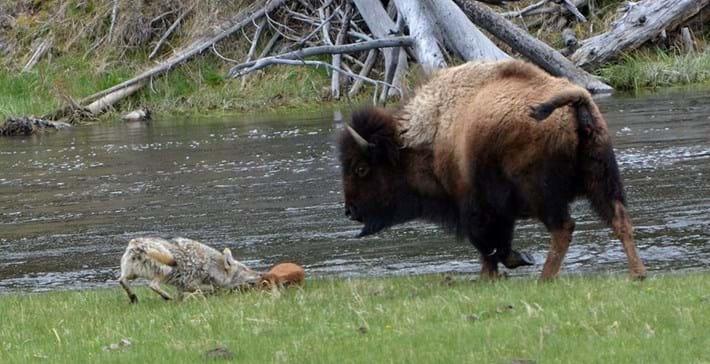 bison_coyote2_2017_06_06.jpg