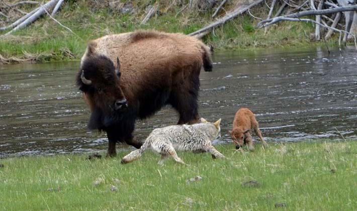 bison_coyote3_2017_06_06.jpg