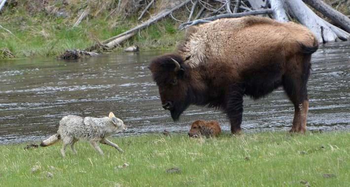 bison_coyote4_2017_06_06.jpg