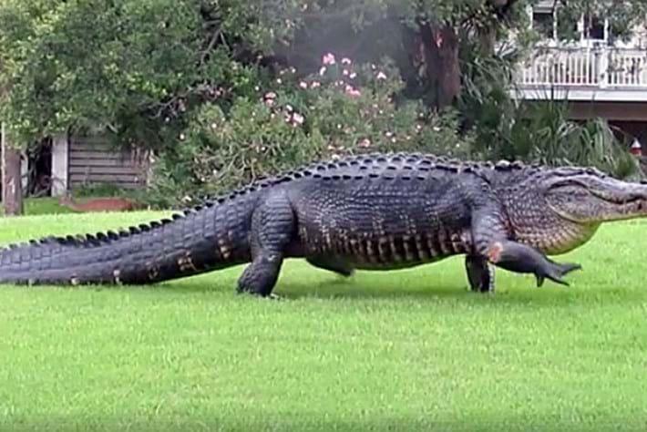 giant-croc-thumb_2017_06_07.jpg