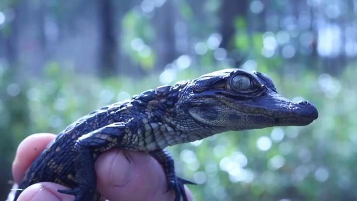 gator hatchling_2017_06_12.jpg