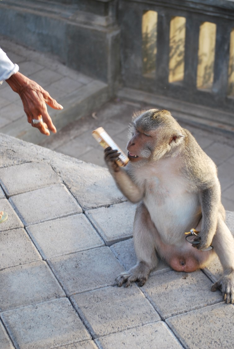 Bali's thieving monkeys will return your stolen items … for a price! |  Animal Behaviour | Earth Touch News