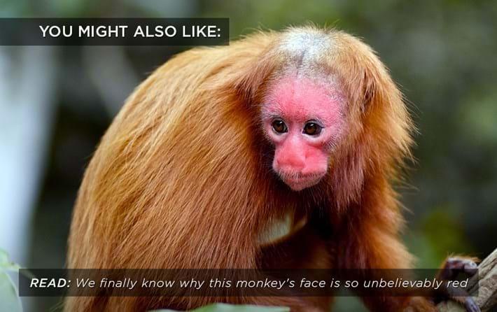 uakari-monkey_related_13_06_17.jpg