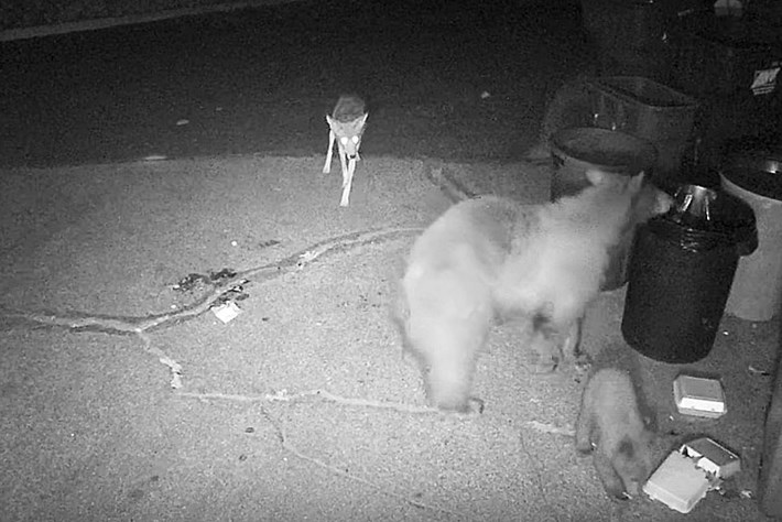 coyote-bear_2017_06_14.jpg