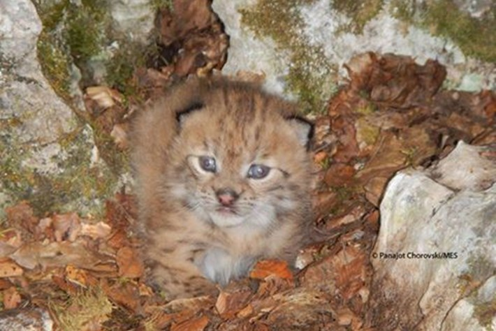 Europe's rare Balkan lynx are breeding – and here's the fluffy first proof