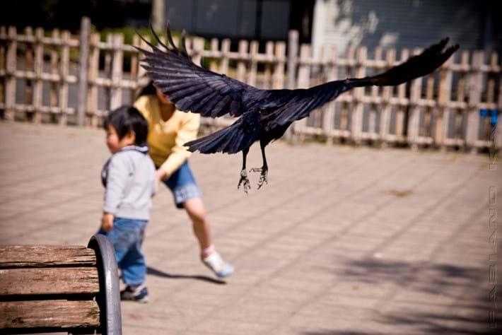 crow attack_2017_06_19.jpg