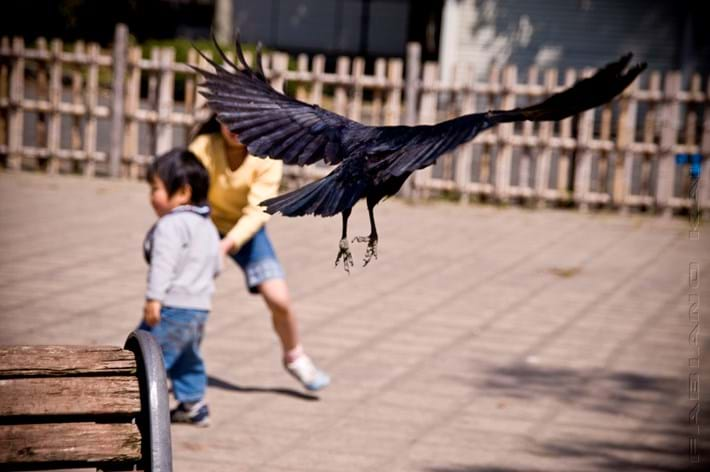 crow attack_2017_06_19.jpg