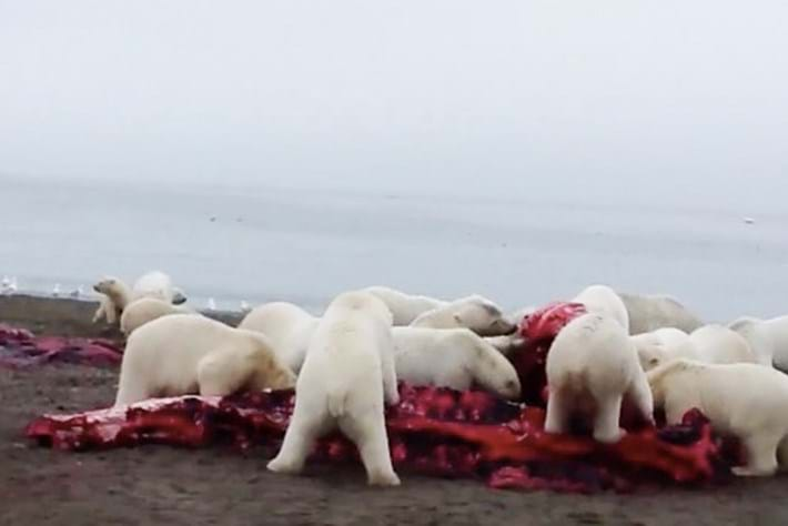 A pile-up of polar bears feasts on a whale carcass (Video)