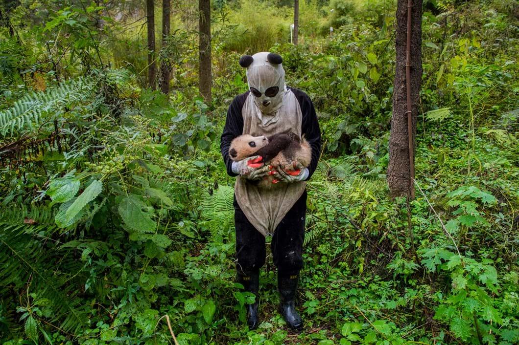 cal-panda-2017-5-26.jpg.jpg