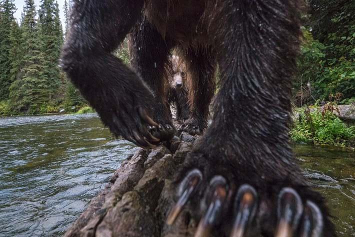 cal-bear-2017-5-26.jpg.jpg