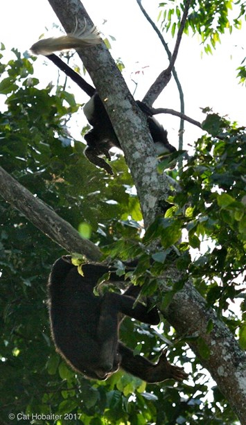 chimp hunting colobus monkey_2017_06_28.jpg