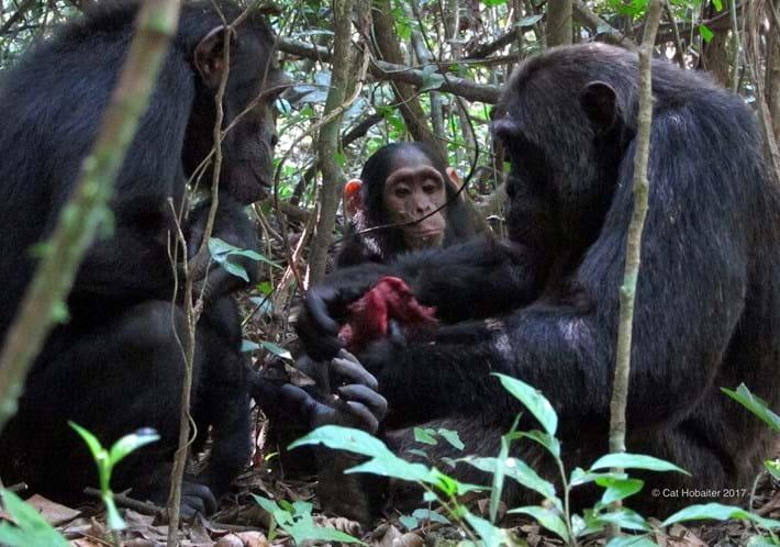 begging chimps_2017_06_28.jpg