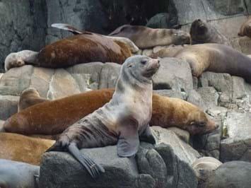 australian fur seal_2017_06_29.jpg