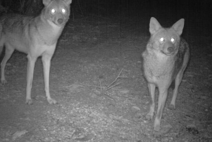 coyotes_Sanibel_2017_06_30.jpg