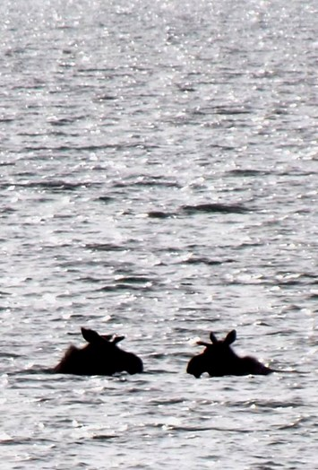 moose swimming2_2017_06_30 .jpg