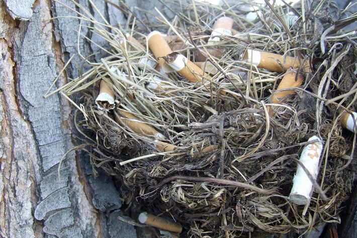 cigarettes-in-sparrow-nests_thumb_2017_07_03.jpg