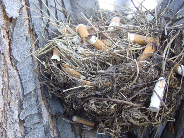 cigarettes in sparrow nests_2017_07_03.jpg