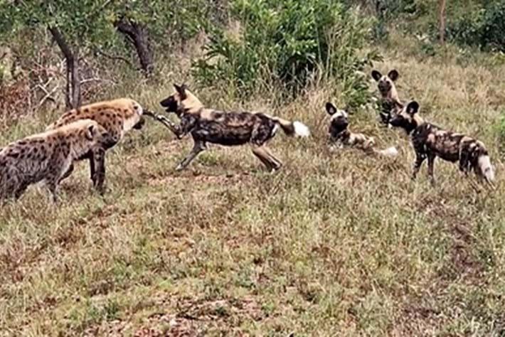 hyena-page-2017-7-1:jpg.jpg