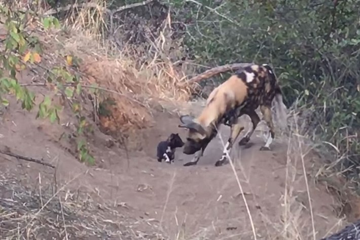 Watch: Tiny wild dog puppies emerge from their den for breakfast
