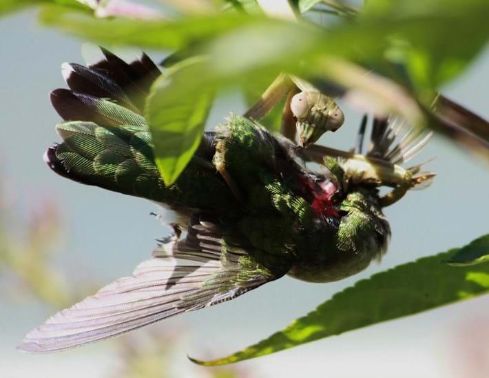 Mantis_Eats_Hummingbird_2017_07_08.jpg