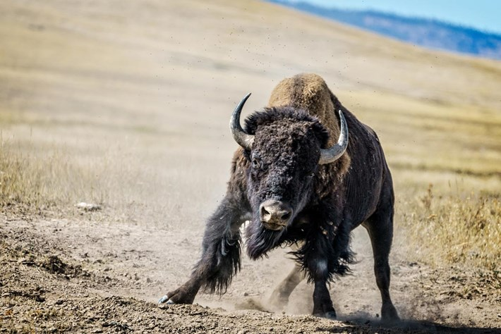 Bison_charge_2_2017-07-10.jpg