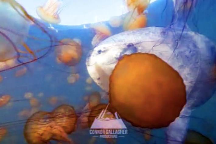 My squishy! Mola mola cruises through jellyfish quagmire