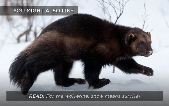 wolverine_snow_related_17_07_17.jpg